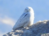 "Snowy Owl ""Iceberg"" along Lake Michigan"