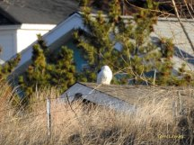 Snowy Owl on Rooftop